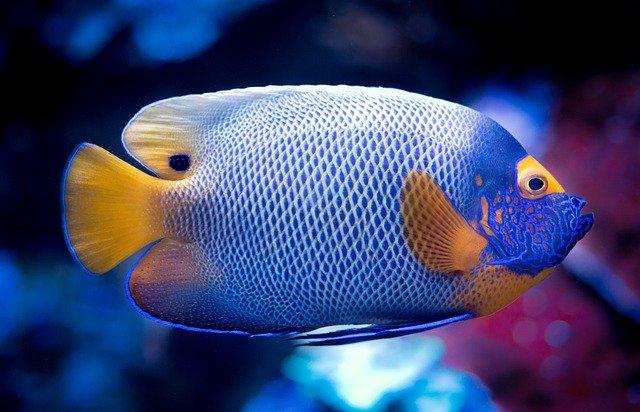 Ikan Hias Air Tawar Yang Tahan Lama Cocok untuk Pemula