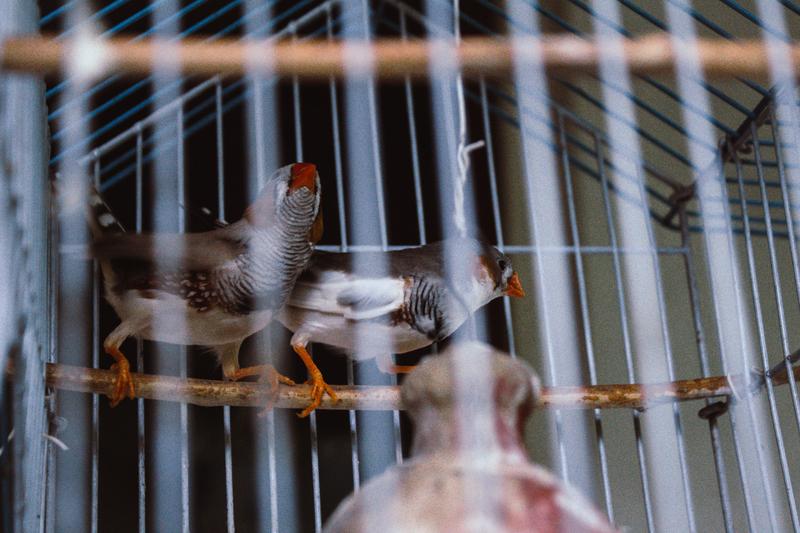 Jenis Burung Beo Paling Mudah Ditemui