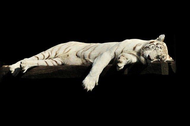 Ciri Ciri Harimau