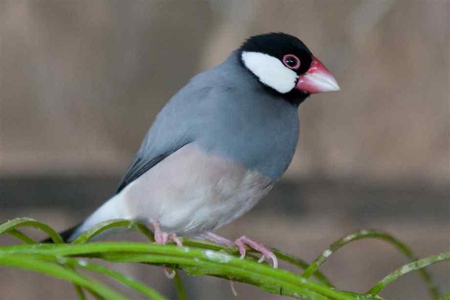 Java Finch: Bird Species Profile