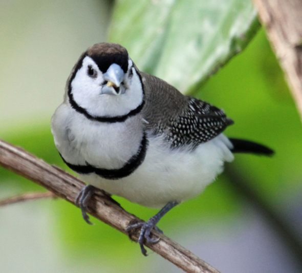 Owl Finch (Bicheno Finch): Bird Species Profile